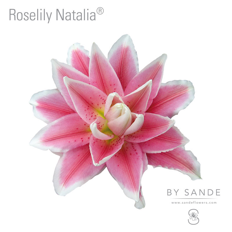 Buy Here Pay Here Miami >> Roselily Natalia® - Sande Flowers