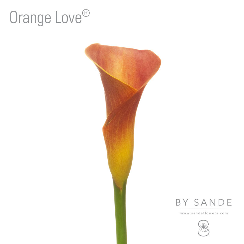 Buy Here Pay Here Miami >> Orange Love® - Sande Flowers