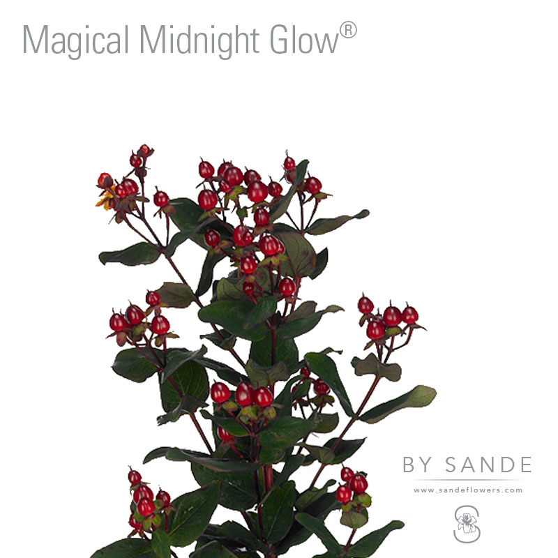 Buy Here Pay Here Miami >> Magical Midnight Glow® - Sande Flowers
