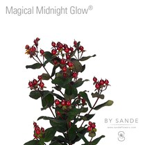 Magical Midnight Glow®