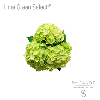 Lime Green Select®