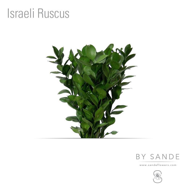 Buy Here Pay Here Miami >> Israeli Ruscus - Sande Flowers