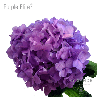 Purple Elite®
