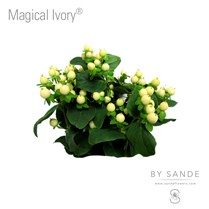 Magical Ivory®