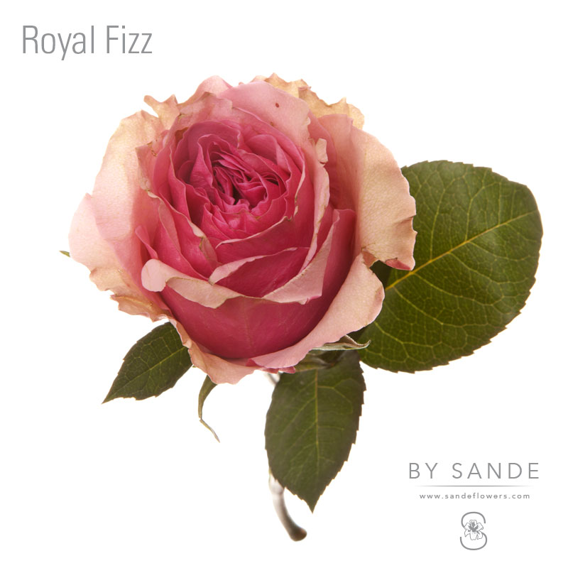 Royal Fizz Sande Flowers