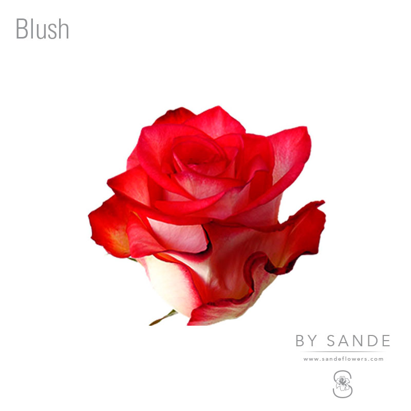 Buy Here Pay Here Miami >> Blush - Sande Flowers