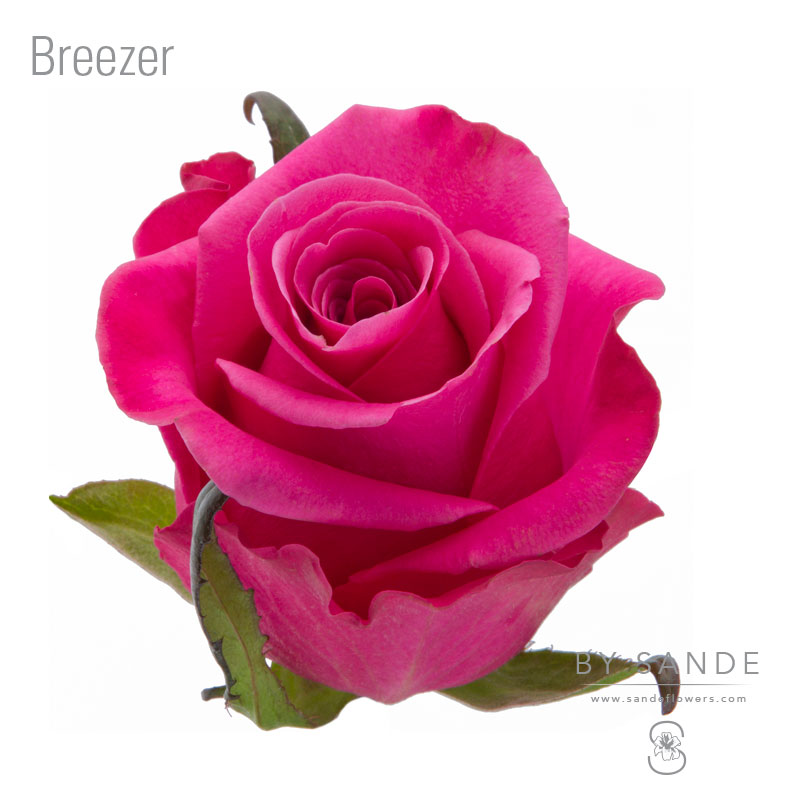 Buy Here Pay Here Miami >> Breezer - Sande Flowers