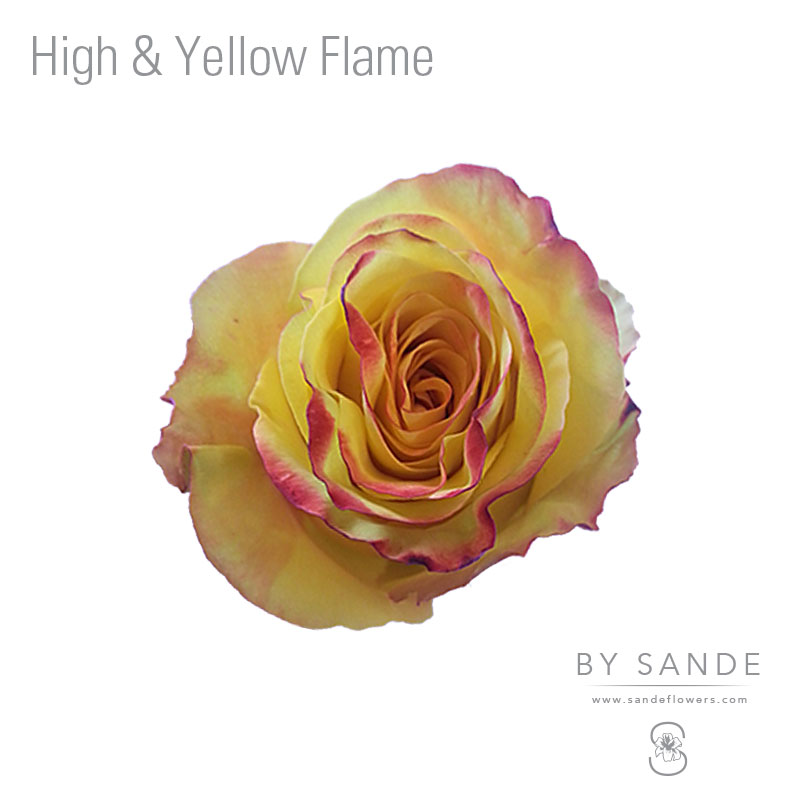Buy Here Pay Here Miami >> High & Yellow Flame - Sande Flowers