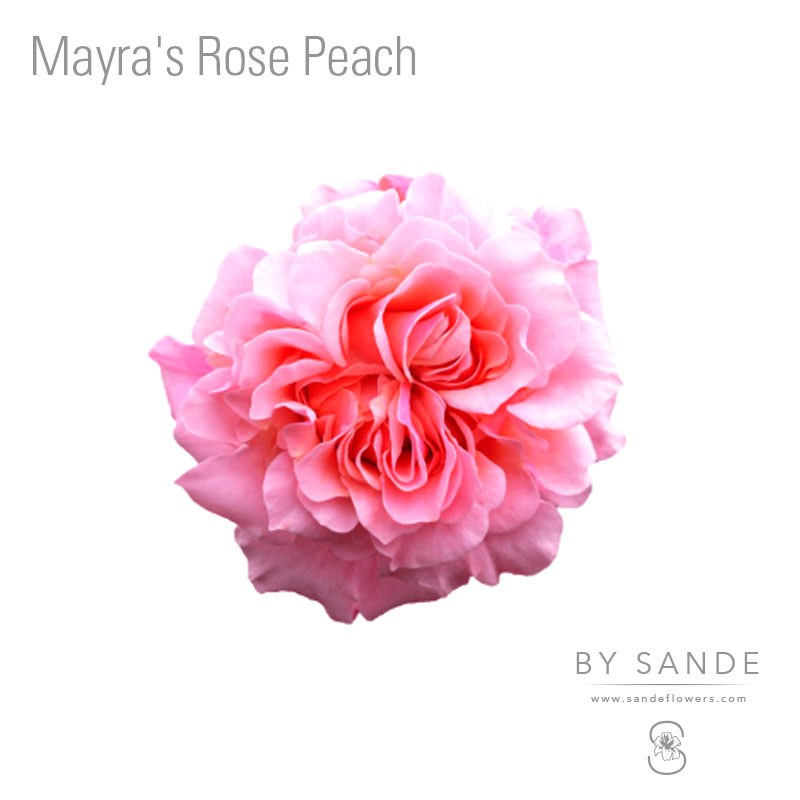Buy Here Pay Here Miami >> Mayra's Rose Peach - Sande Flowers