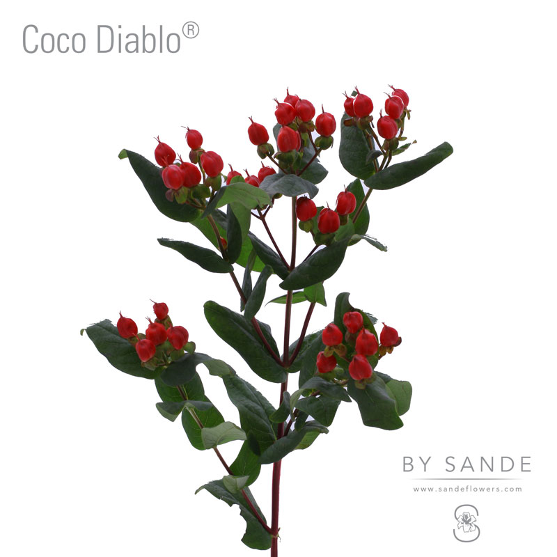 Buy Here Pay Here Miami >> Coco Diablo® - Sande Flowers