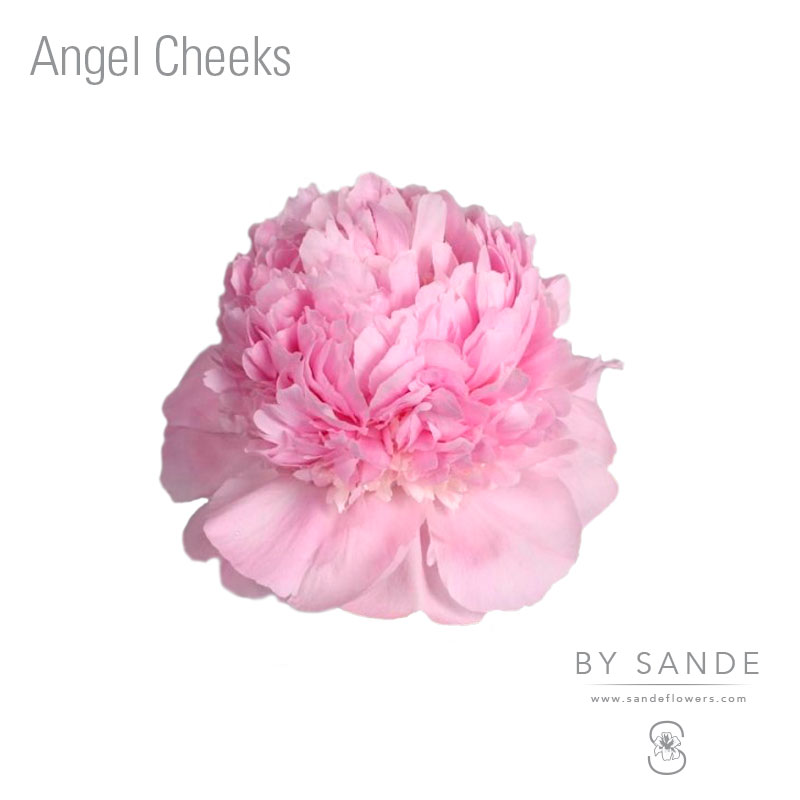 Pay Here Buy Here >> Angel Cheeks - Sande Flowers