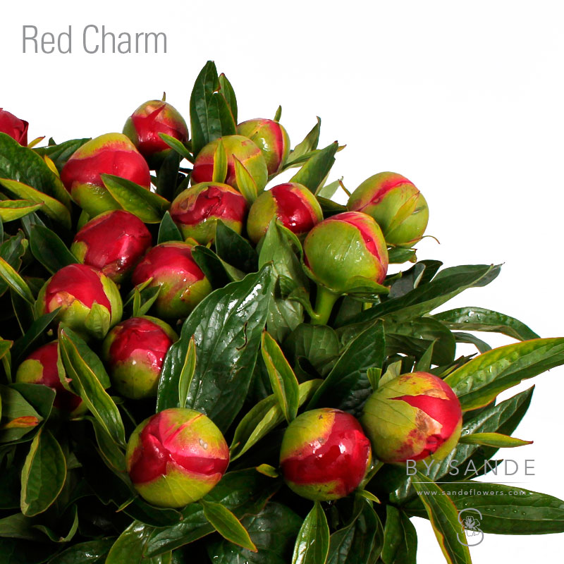Buy Here Pay Here Miami >> Red Charm - Sande Flowers