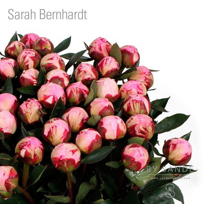 Buy Here Pay Here Miami >> Sarah Bernhardt - Sande Flowers