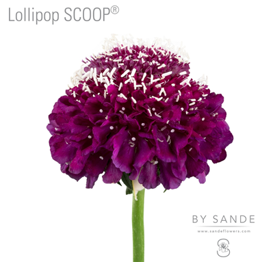 Lollipop SCOOP