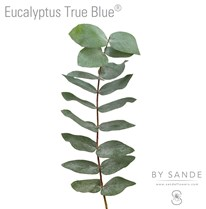 Eucalyptus True Blue