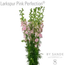 Larkspur Pink Perfection